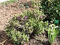 Rhododendron occidentale - University of Copenhagen Botanical Garden - DSC07568.JPG