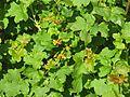 Ribes aureum (26520861726).jpg