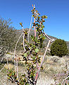 Ribes aureum var aureum 2.jpg