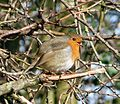 Robin singing - Flickr - gailhampshire.jpg