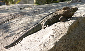 Description de l'image Rock_Iguana_2640.jpg.