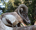Rocky Mountain Sheep (3337041380).jpg