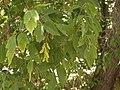 Rocky Mountain boxelder, Acer negundo var. interius (15750360637).jpg
