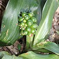 Rohdea japonica (fruits s7).jpg