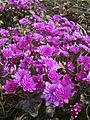 Roosa täidisõieline sinilill (Hepatica nobilis Rubra Plena).jpg