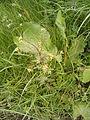 Rorippa palustris R0016714.JPG