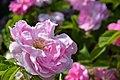 Rosa damascena var. semperflorens 'Quatre Saisons Blanc Mousseux'.jpg