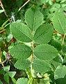Rosa majalis leaf (01).jpg