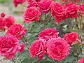 Rose, Heat Wave, バラ, ヒート ウェーブ, (15880048286).jpg