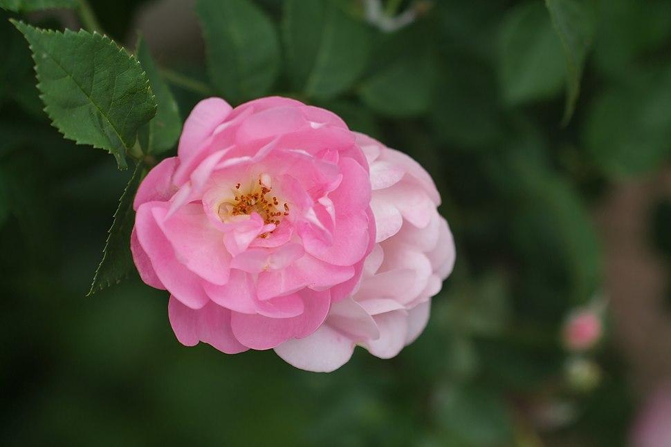 Rose-Victoria1995