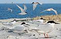 Roseale Tern From The Crossley ID Guide Eastern Birds.jpg