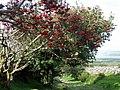 Rowan berries for the birds - geograph.org.uk - 1475632.jpg
