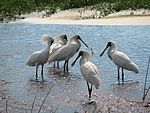 Royal Spoonbills at Fogg Dam.jpg