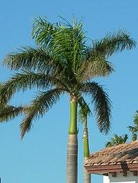 Royal palm tree in Boca Raton.jpg