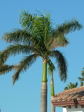 Description de l'image Royal palm tree in Boca Raton.jpg.