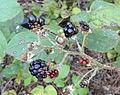 Rubus baruthicus - Botanischer Garten, Frankfurt am Main - DSC02451.JPG