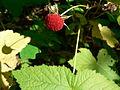 Rubus parviflorus 26316.JPG