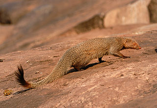 Ruddy mongoose Species of mammal