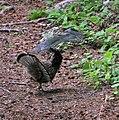 Ruffed Grouse (670757844).jpg