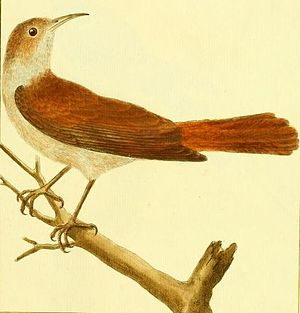 Rufous hornero - Rufous hornero drawn by François-Nicolas Martinet sometime before 1780 for the book Histoire Naturelle.