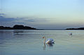 Rutland Water - swans (508268544).jpg