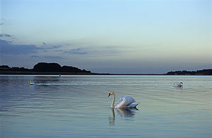 Rutland Water - Swans on Rutland Water at dusk