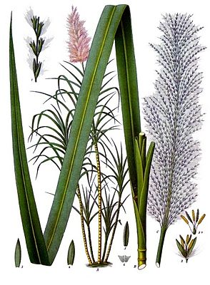 Zuckerrohr-Pflanze (Saccharum officinarum), Illustration aus Koehler 1887