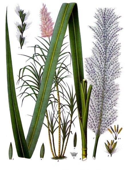 Saccharum officinarum - Köhler–s Medizinal-Pflanzen-125