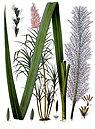 Saccharum officinarum - Köhler–s Medizinal-Pflanzen-125.jpg