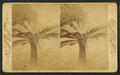 Sago palm, Fernandina, Florida, from Robert N. Dennis collection of stereoscopic views.png