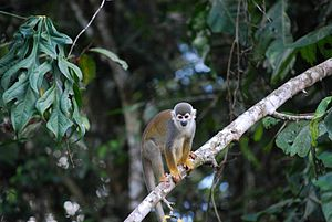 Cuyabeno Wildlife Reserve - The Saimiri Sciureus, common monkey in the Cuyabeno Wildlife Reserve