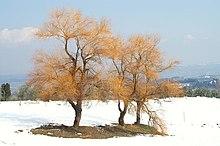 Salici bianchi in inverno - Filicaja - Montaione (FI)