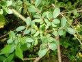 Salix caesia-MW0303087-live-1.tif
