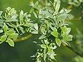 Salix lapponum Wierzba lapońska 2016-05-02 02.jpg