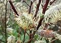 Salix lapponum kz08.jpg