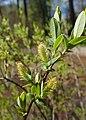 Salix myrtilloides kz11.jpg
