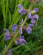 Salvia pratensis.jpg