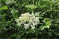Sambucus nigra TK 2021-06-09 2.jpg