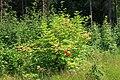 Sambucus racemosa 20090629.jpg