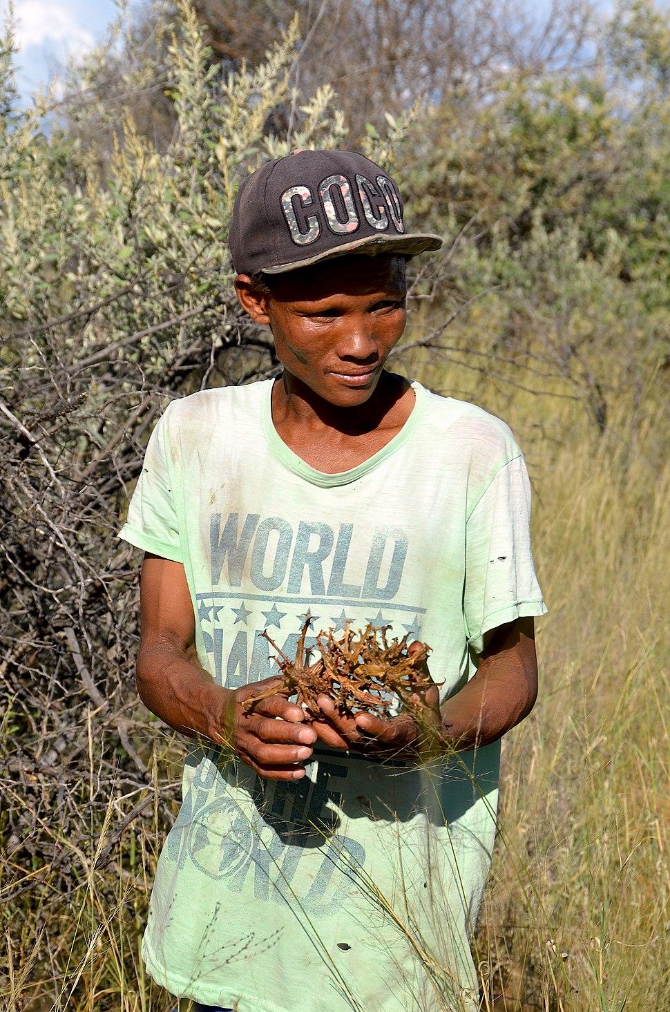 San-Mann beim Sammeln der Teufelskralle (Namibia)