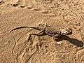 Sand Gecko profile view, Sharjah Desert.jpg