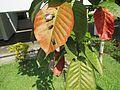 Sandoricum koetjape (Santol) leaves in RDA, Bogra 04.jpg