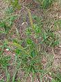 Sapium glandulosum (16676147271).jpg