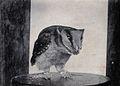 Sarawak; a captive owl (Photodilus badius). Photograph. Wellcome V0037480.jpg
