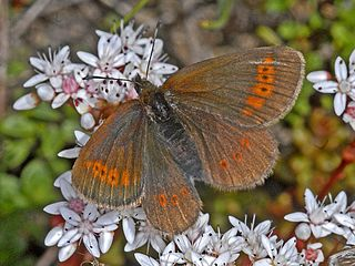 <i>Erebia melampus</i> species of insect
