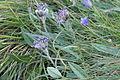 Saussurea alpina (Gewöhnlich-Alpenscharte) IMG 1316.jpg
