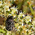 Saw palmetto & Flower Scarab (6808001896).jpg