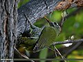 Scaly-bellied Woodpecker (Picus squamatus) (21838580313).jpg