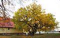 Schildau Maulbeerbaum Herbst1.jpg