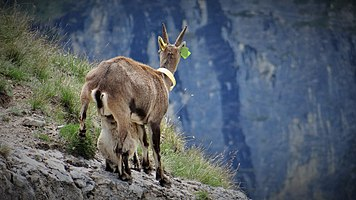 Scientific monitoring of ibex in Vanoise National Park, France (6).jpg